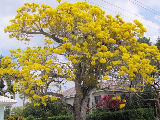 Yellow tabebuia caraiba.