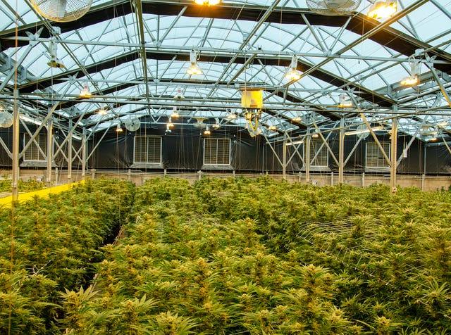 Arizona marijuana farmers raise concerns about hemp cross-pollination