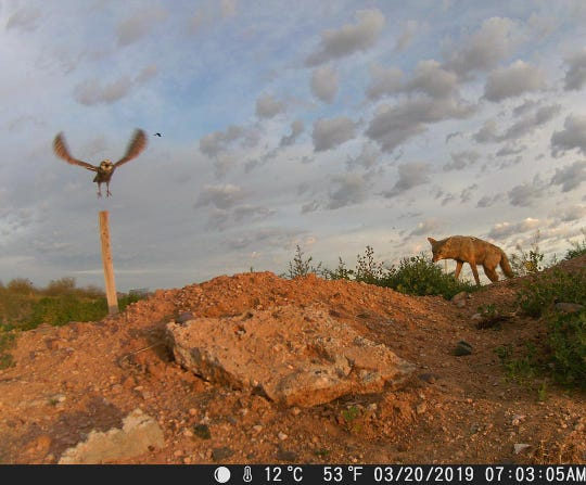 This spectacular photo was captured by a trail camera at Scottsdale Community College's Center for Native and Urban Wildlife.