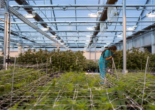 Cannabis is seen being cultivated at the Harvest Inc. grow facility in Camp Verde, Ariz. on Feb. 7, 2018.