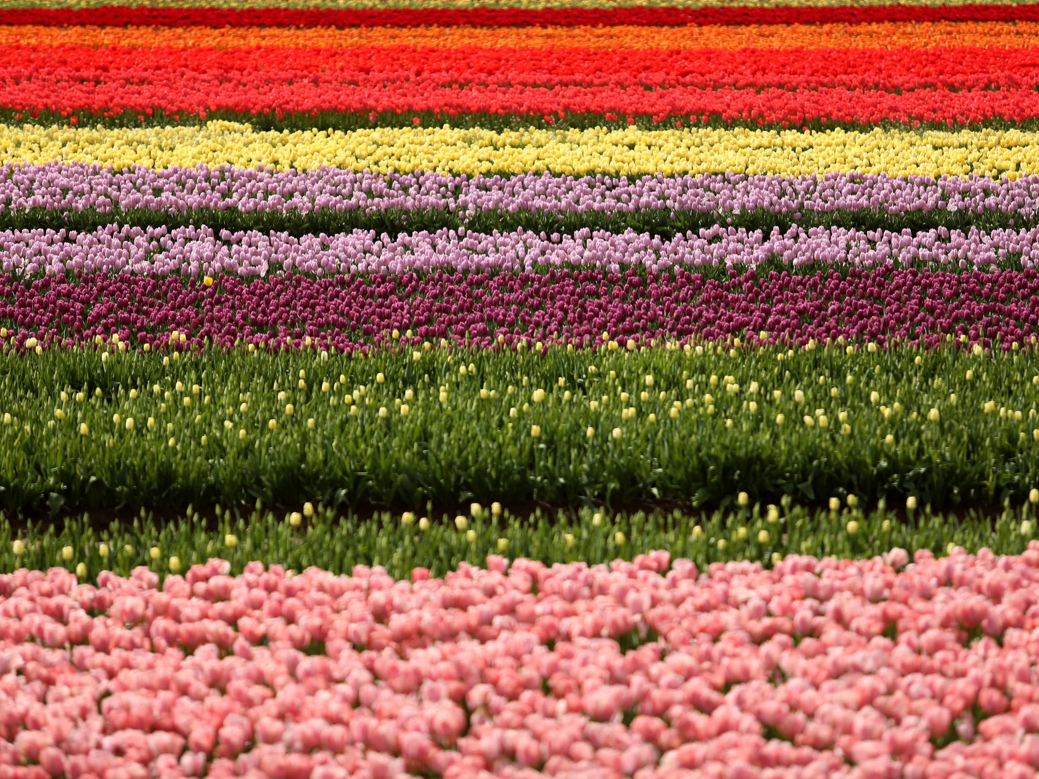 Acres of flowers bloom during the Wooden Shoe Tulip Fest near Woodburn on April 17, 2019.
