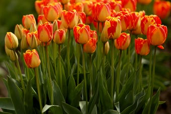 Clear weather Wednesday morning brought people out to see the acres of flowers bloom during the Wooden Shoe Tulip Fest.