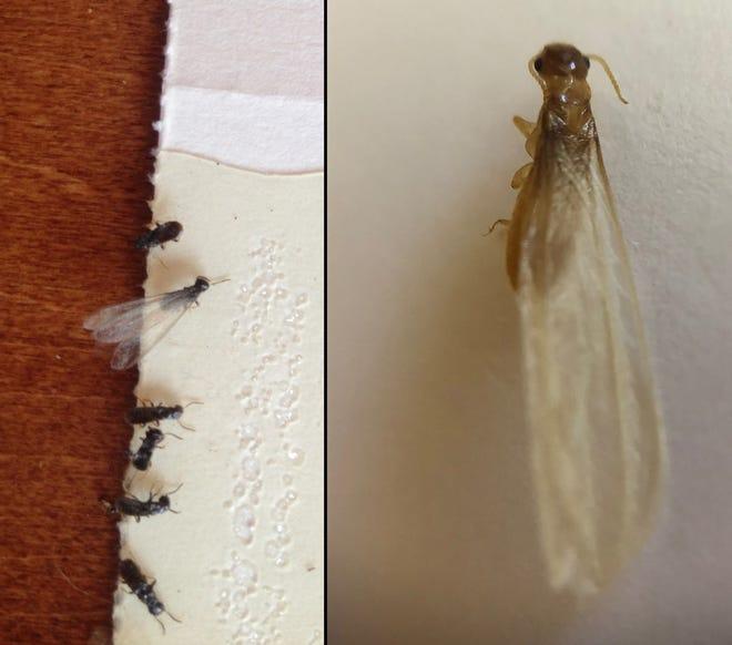 Eastern subterranean termite alates on the left and Formosan subterranean termite alate on the right.