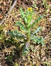 North Texas is home to a number of common thistle plants.
