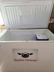 Around 240 dairy producers are saving their extra colostrum to sell to Seymour Colostrum. Farmers fill pails of colostrum in freeze them in a freezer provided by the company.