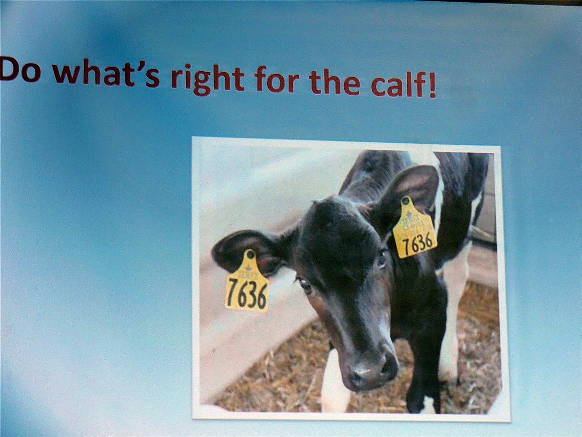 It's all about the calf  that will be the next cow,