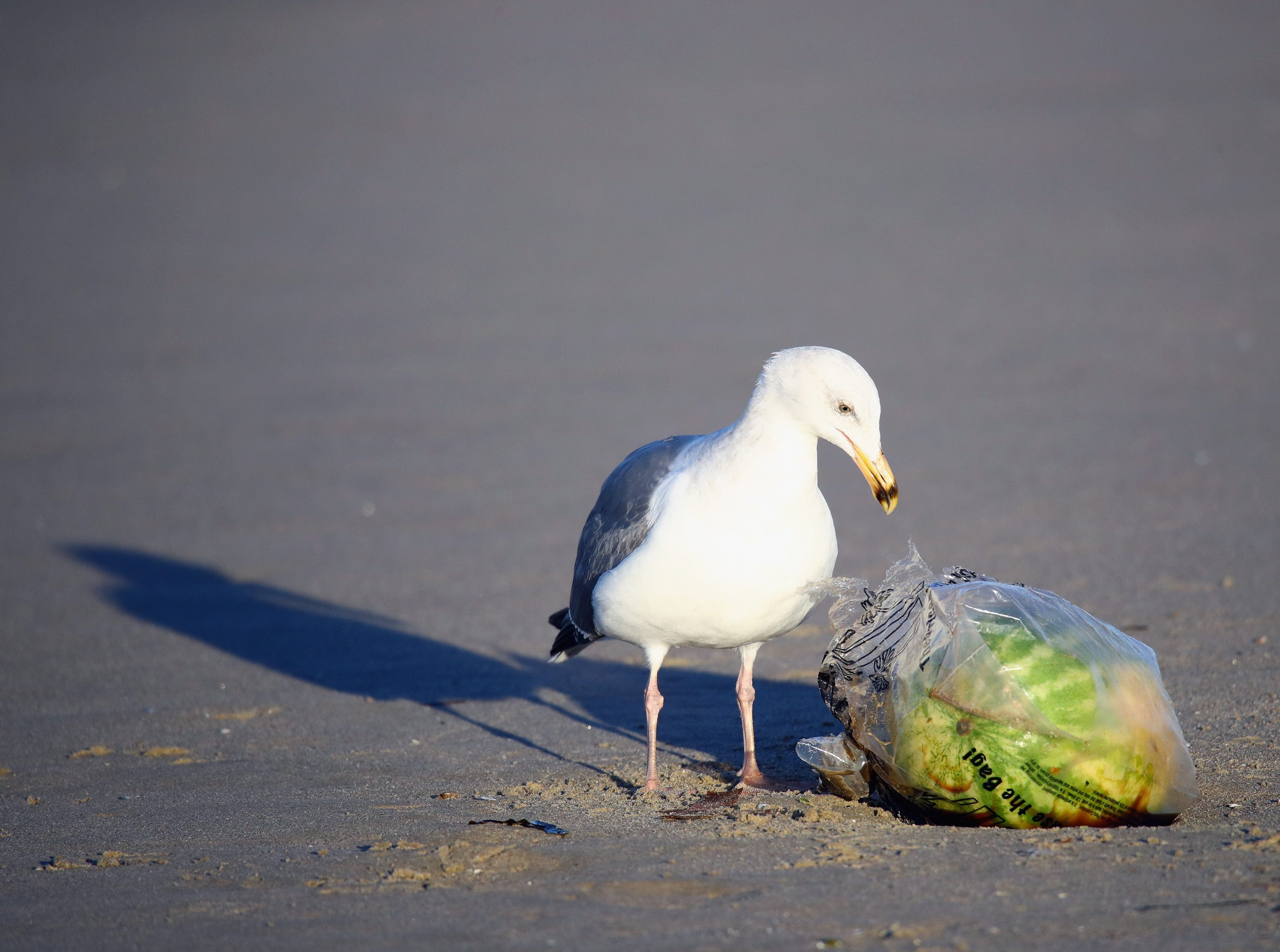 A seagull pecks at a plastic bag on Jan. 30, 2017 in Venice Beach, Calif.