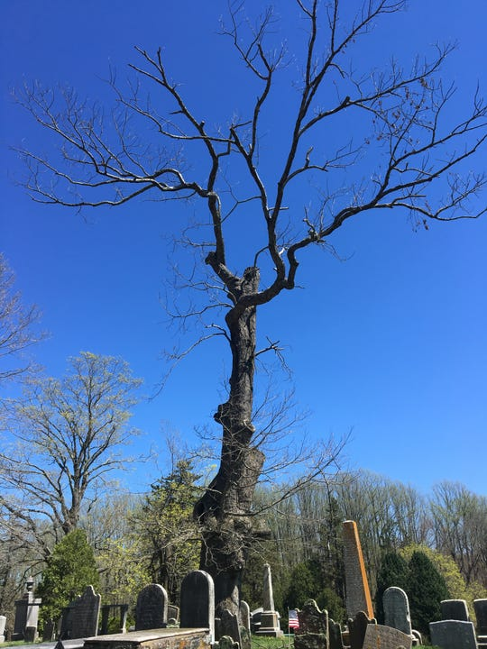 The 300-year-old tree that Old Tennent Church Sunday School students were meeting under when the Battle of Monmouth began.