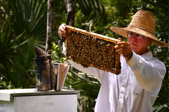 Clifton Best, of CL Best Honey Bees, is a professional bee remover. He was doing maintenance on one of his hives on his property in Canaveral Groves.