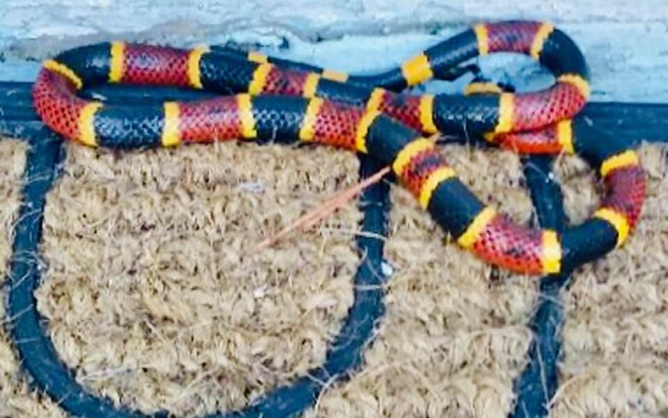 'Live and let live': Florida woman armed with machete uses it to save venomous coral snake