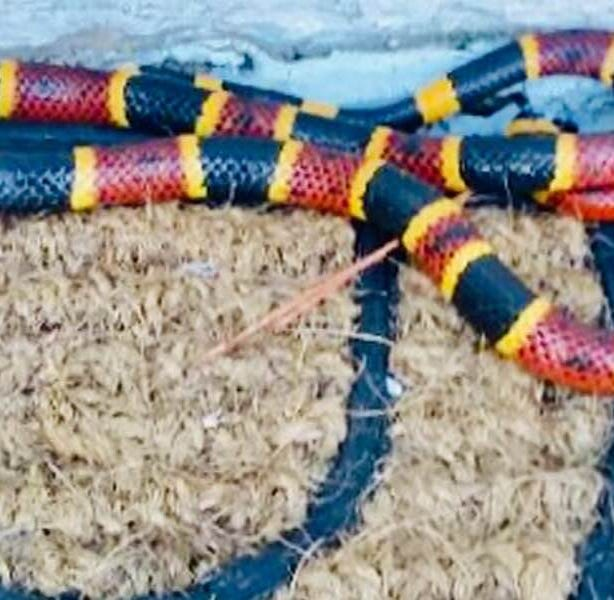 A two-foot coral snake was located in Michelle Redfern's garage in Melbourne.