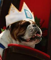 Otis, owned by Joe and Cathy McGill of Urbandale, won the 1996 Beautiful Bulldog Contest at Drake University.