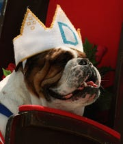 Otis, owned by Joe and Cathy McGill of Urbandale, won the 1996 Beautiful Bulldog Contest at Drake University.