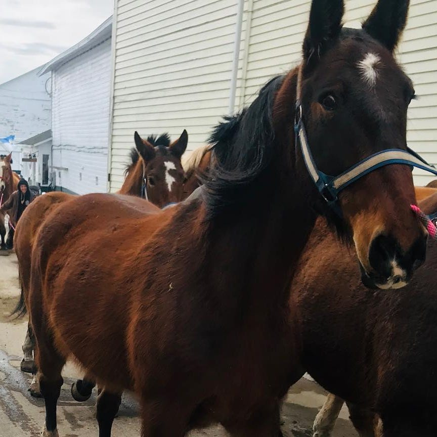 Horses return to Mackinac Island after winter season