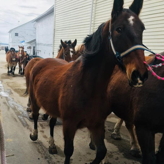 Horses return to Mackinac Island after winter season. The horses are typically taken off of the Island when the weather gets cold and brought back when it warms up.