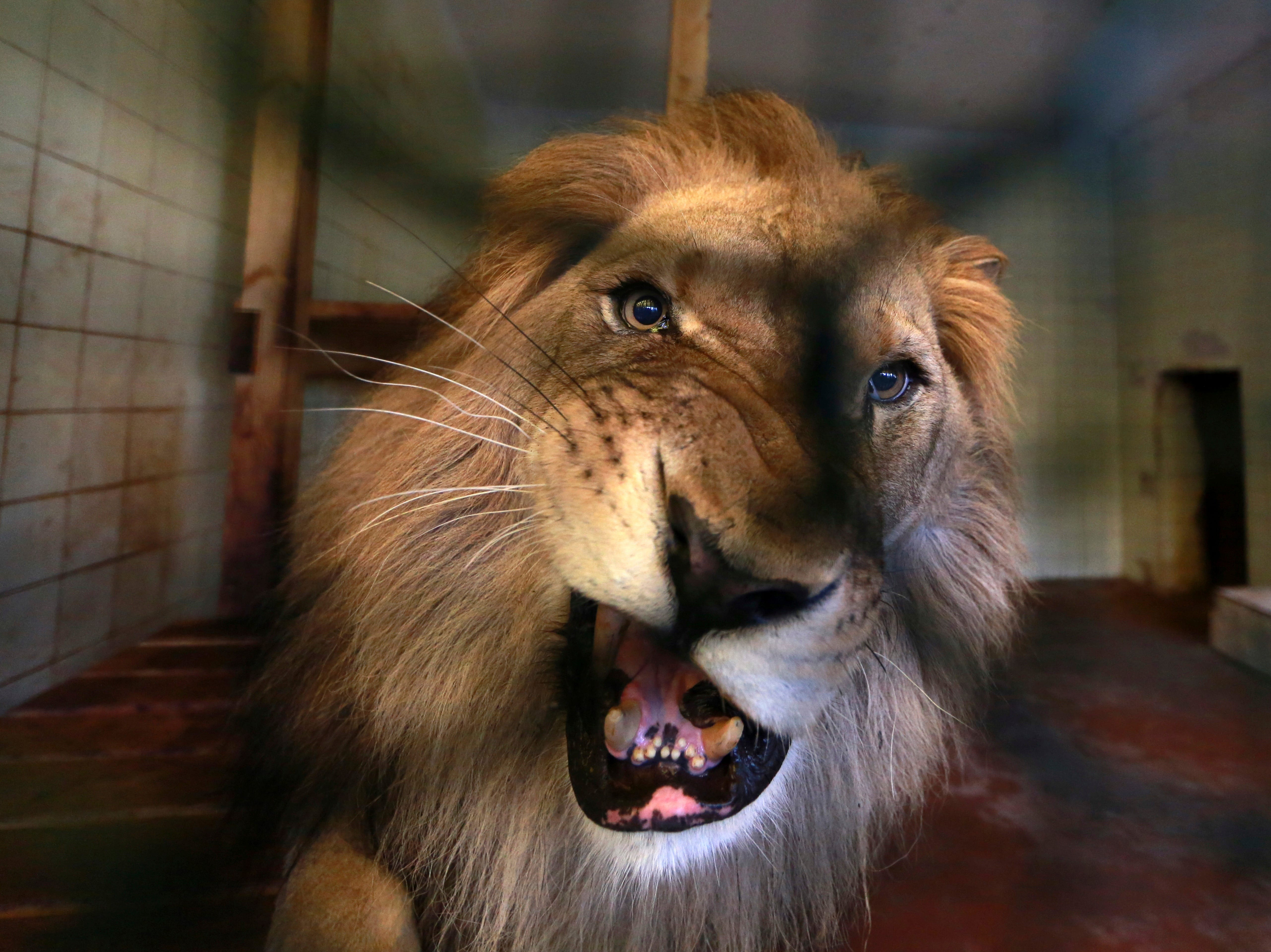 A lion is seen in its cage at a zoo in Tirana, Thursday, April 18, 2019. An international animal welfare charity was locked in a spat Thursday with the Albanian government over three lions destined for a sanctuary in the Netherlands.