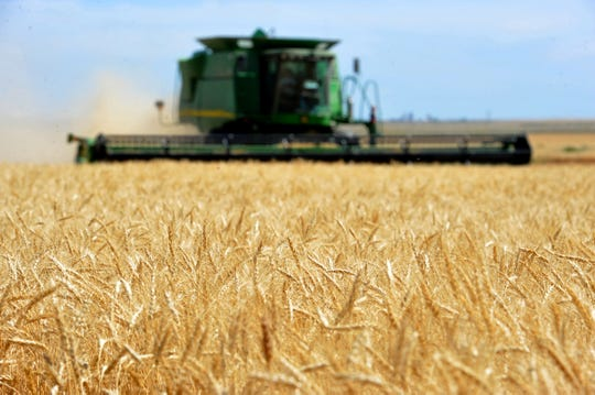 In this 2016 file photo, a combine cuts winter wheat on the Lone Prairie Farm in Big Sandy.