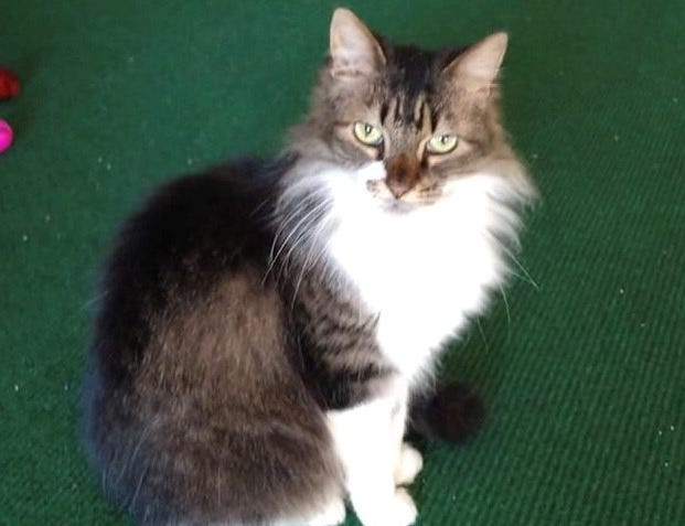 Geebee is a 10-year-old female Maine Coon mix. She is incredibly sweet and gentle. Her hair is growing back after flea treatment, and she will be even more elegant once it has filled back in. Email info@feralfelinefriends.org or call 865-919-CATS (2287) for more information on adoption, fostering or volunteering.