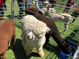 Reporters Leigh Guidry and Ashley White wandered from Acadiana for a weekend getaway of wine and alpacas.