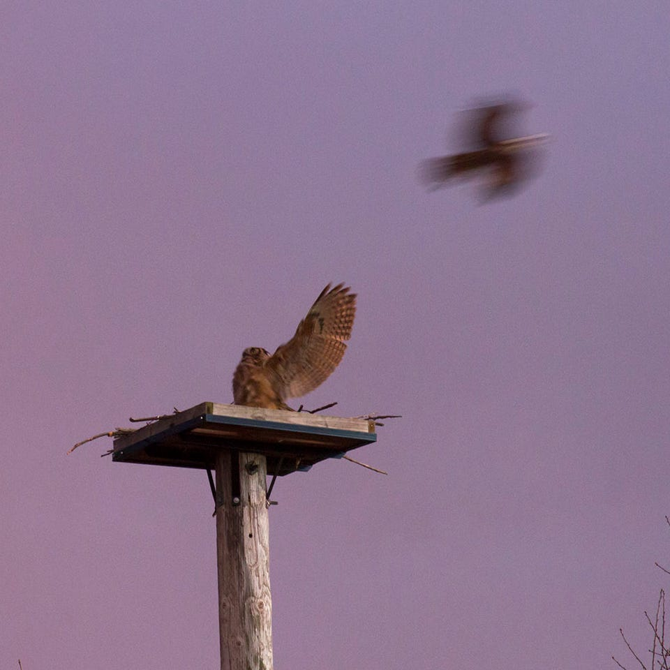 Drama unfolds in the sky as great horned owl, osprey battle for turf | Woodland Dunes