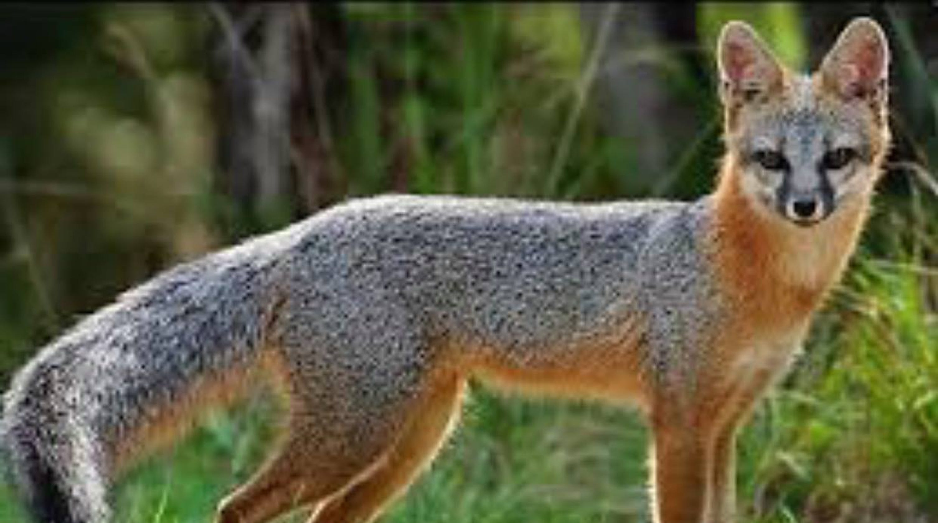Morris plains nj mother bitten by fox while gardening