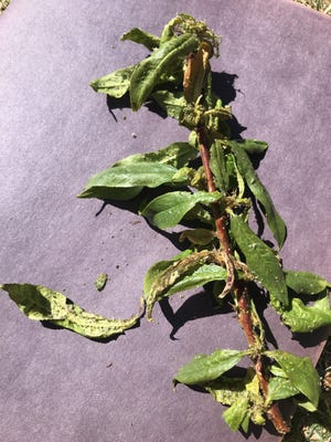 This peach tree stem infested with aphids is likely going to defoliate completely, but this early in the growing season there's a good chance it will bounce back and be covered in new leaves in no time.