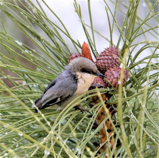 A pygmy nuthatch rests by a pine cone.