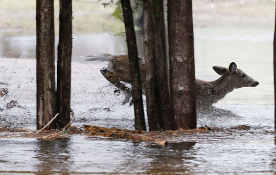 A deer bounds through flood waters on Thursday, April 18, 2019, along Park Road at Galecke Park in the town of Plover, Wis. Residents in the area had been advised to evacuate. Tork Mason/USA TODAY NETWORK-Wisconsin