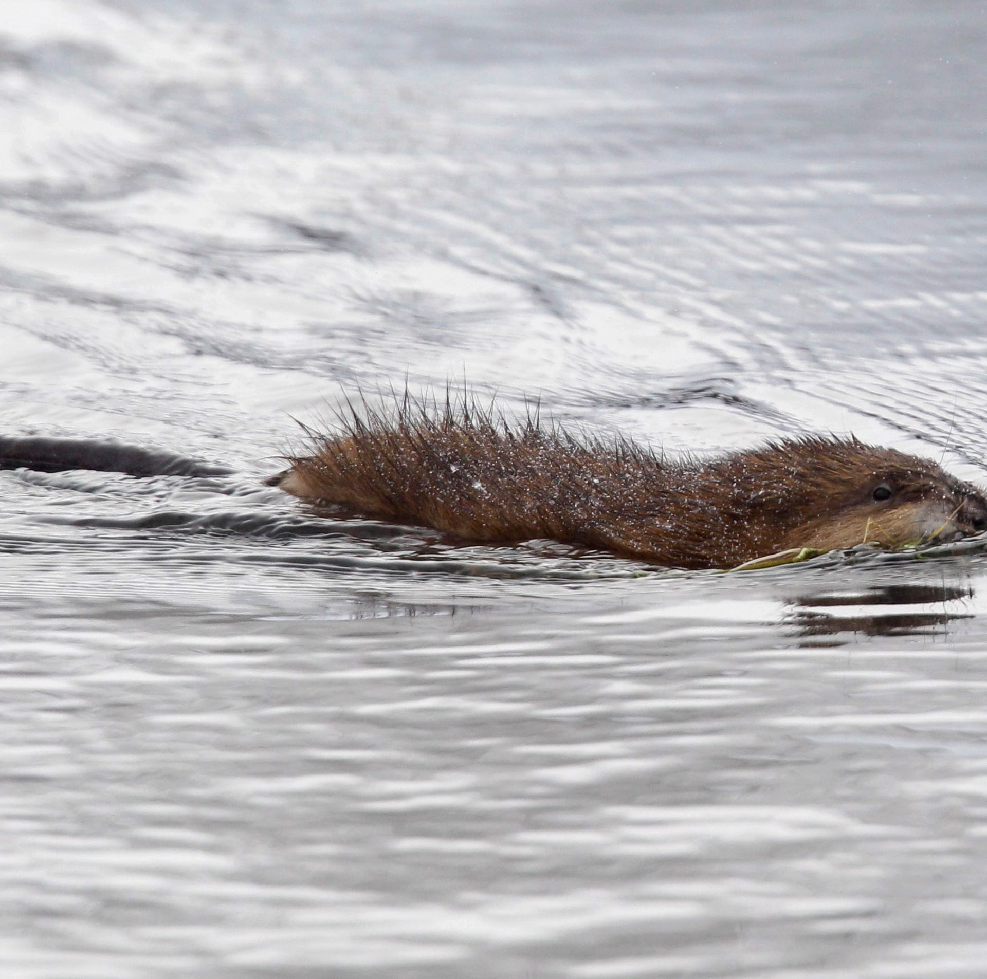Meat for Lent: Detroit-area Catholics allowed to eat muskrat, if they want to