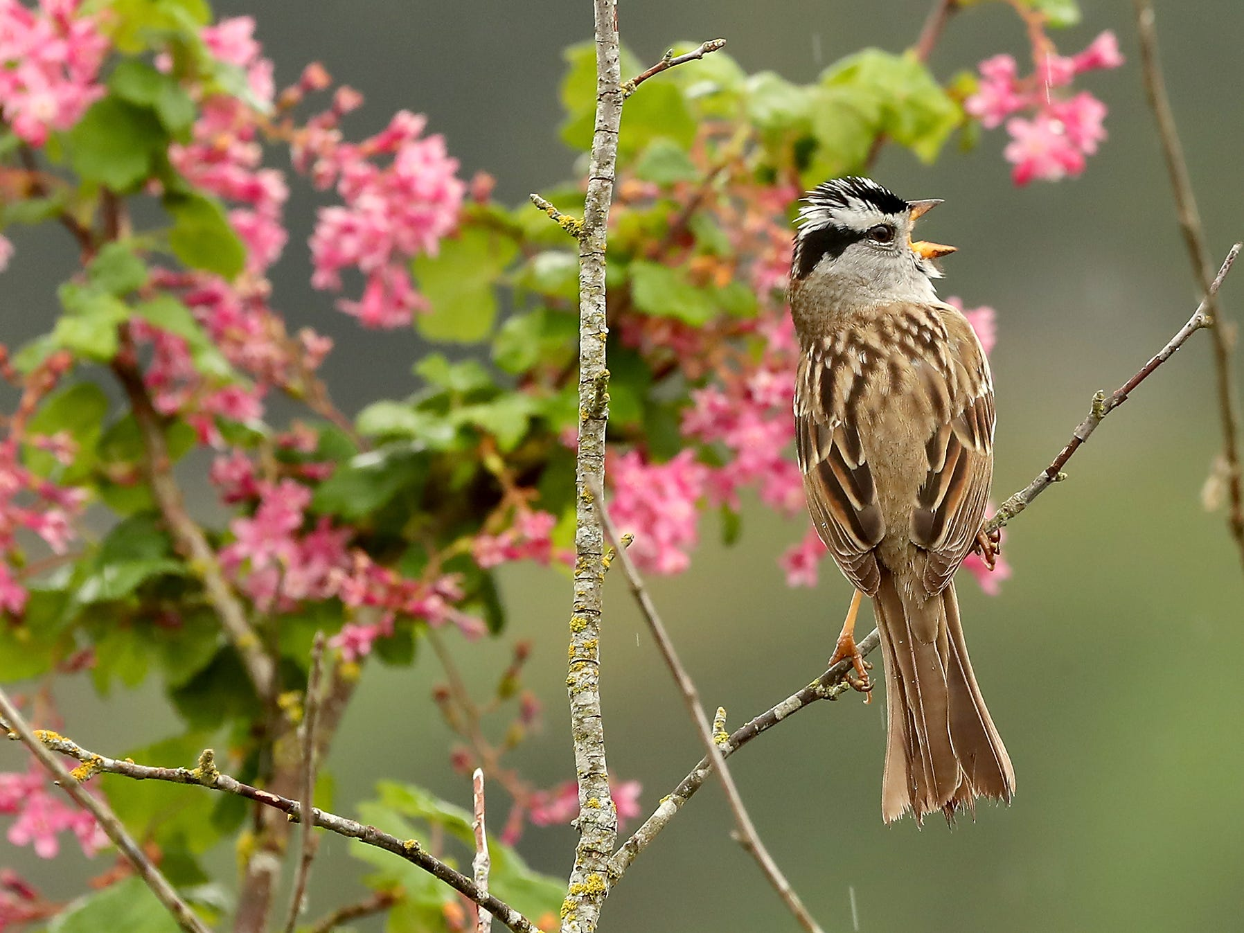 A white-crowned sparrow sings in the rain while perched in front of a flowering branch at Pat Carey Vista in Bremerton on Friday, April 18, 2019.