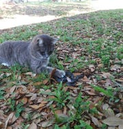 "The now-famous cat near Michelle Redfern's house. Here she is ""playing"" with a black snake. But the coral snake was spared from its paws."