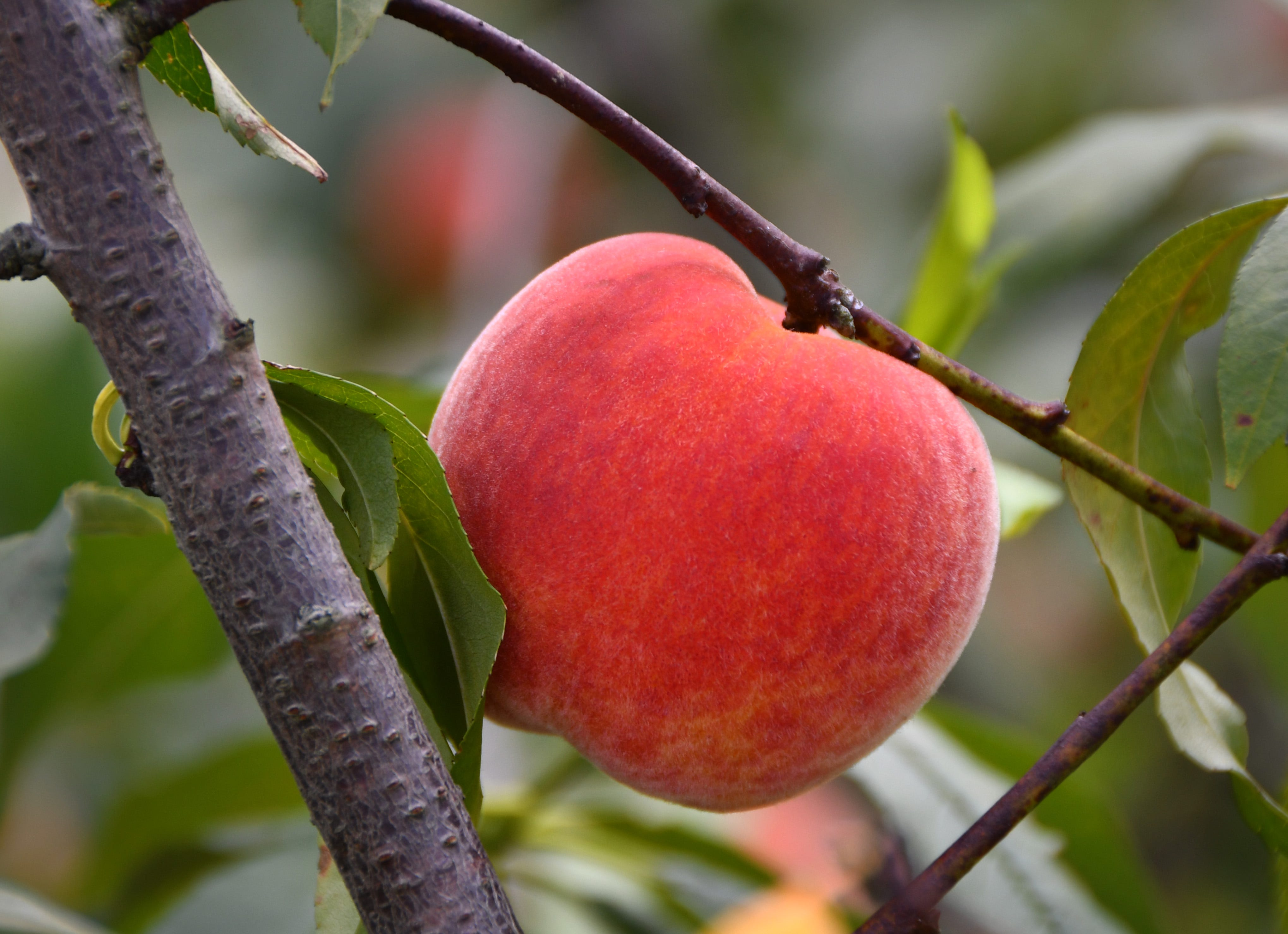"""Indoor//Outdoor PEACHES Street Sign orchard fruit trees georgia produce 18/"""""""