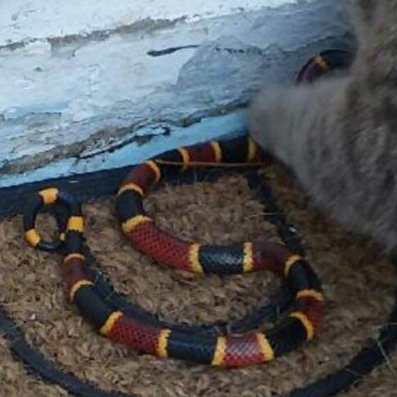 Melbourne woman uses machete to save venomous coral snake from a cat