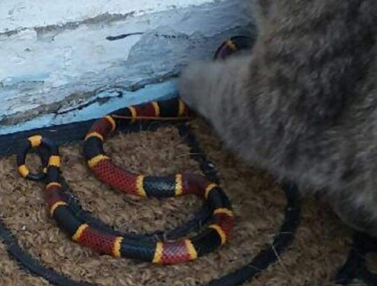 The now-famous cat shown pawing at a coral snake that slithered into Michelle Redfern's garage. She ended up saving both of them.