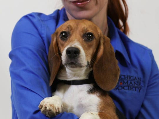 One of 32 beagles, which had formerly been used in laboratory testing, is pictured as they became available for adoption through Michigan Humane Society.