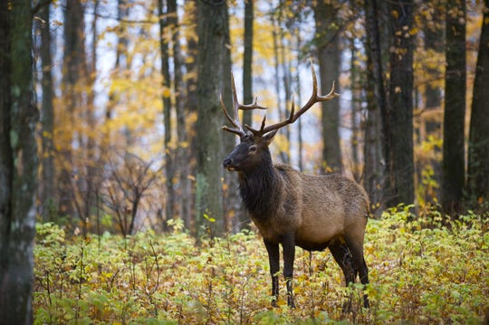 Thanks to careful wildlife management, Michigan's elk population celebrated its 100th anniversary in 2018. The comeback of the elk is just one shining example of the types of wildlife management that will ensure the state's forests, waters, and wildlife are protected.