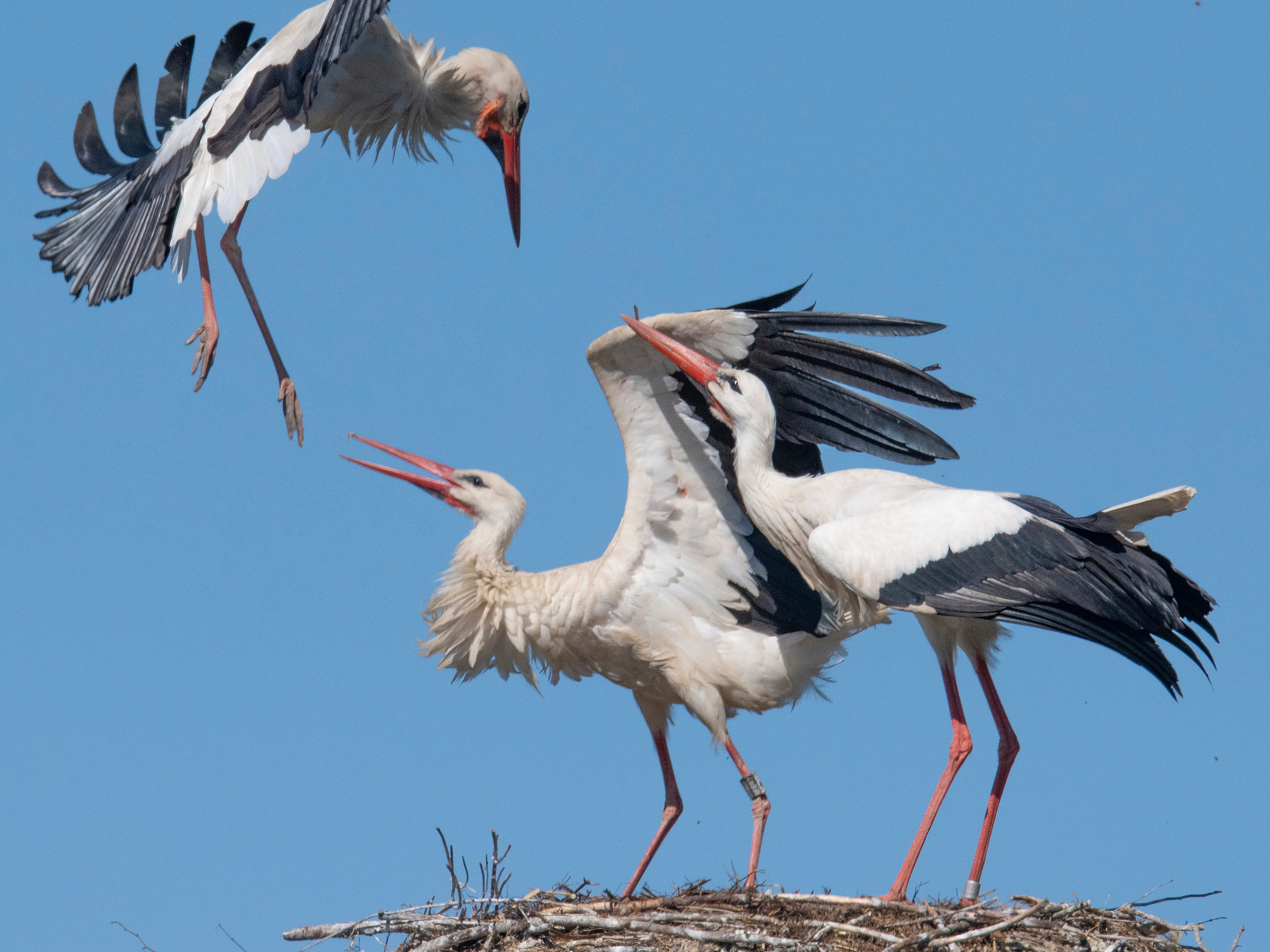 Storks defend their nest on a warm spring Friday, April 19, 2019 in Biebesheim, Germany.