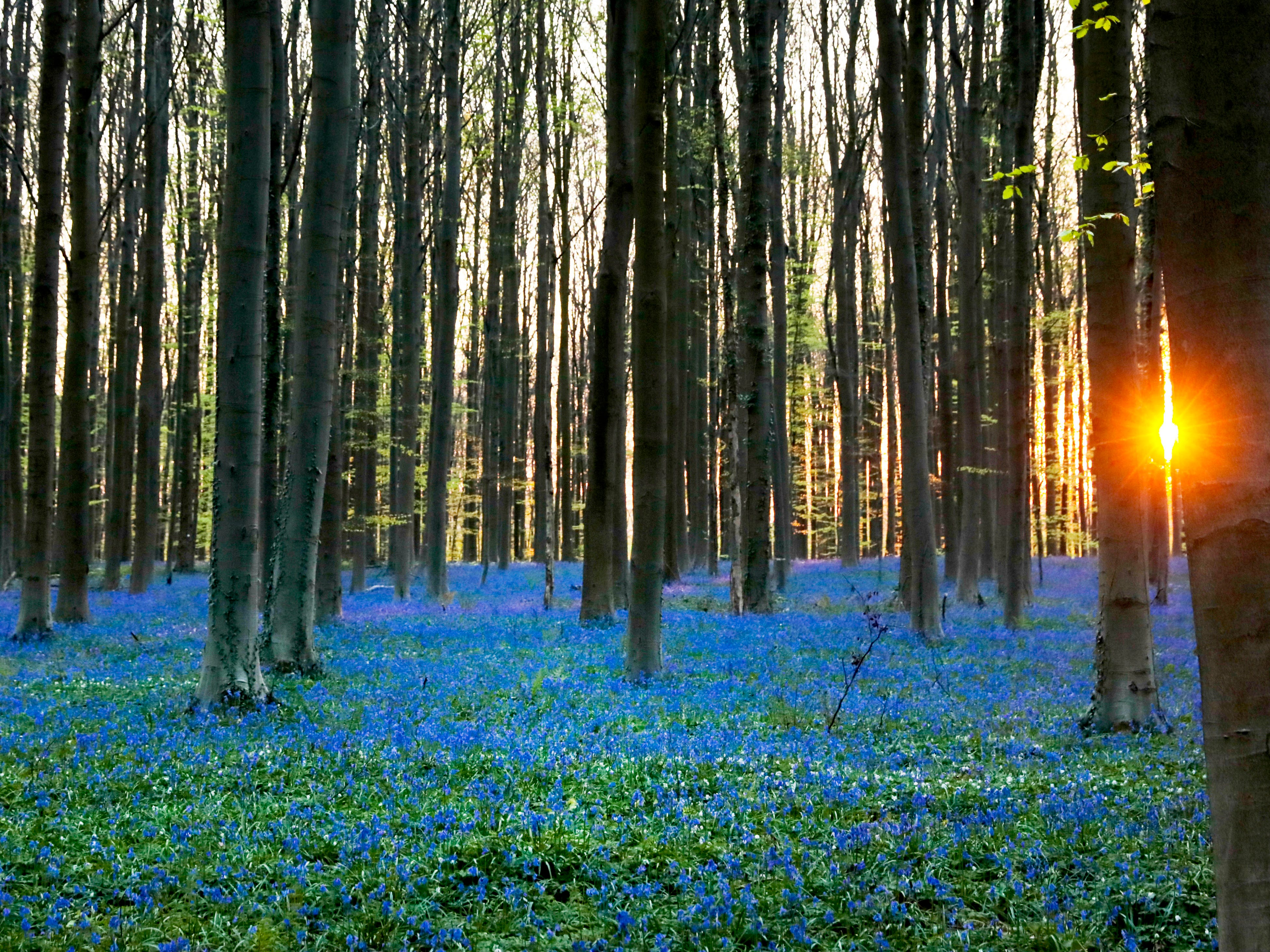 The sun rises over a carpet of wild Hyacinth flowers in the Hallerbos in Halle, Belgium, Friday, April 19, 2019. The wild Hyacinths, also known as Bluebells, are particularly associated with ancient woodland.