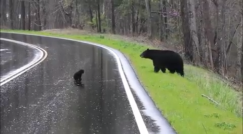 Black Bear in Cades Cove Crosses Road with Cubs