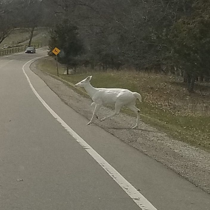 Rare albino deer spotted in a Michigan park