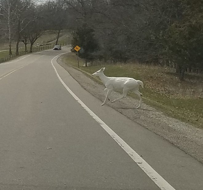 Russell Rheaume captured this photo of an albino deer Wednesday, April 17, 2019 in Kensingston Metroparks.