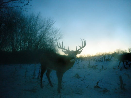 A whitetail buck in Buffalo County is shown in this trail cam image.