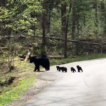 Black bear sighting video in Great Smoky Mountain National Park goes viral on Facebook