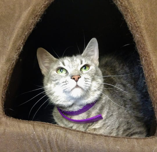 Fawn is a spayed female, 1-year-old, Domestic Shorthair mix.