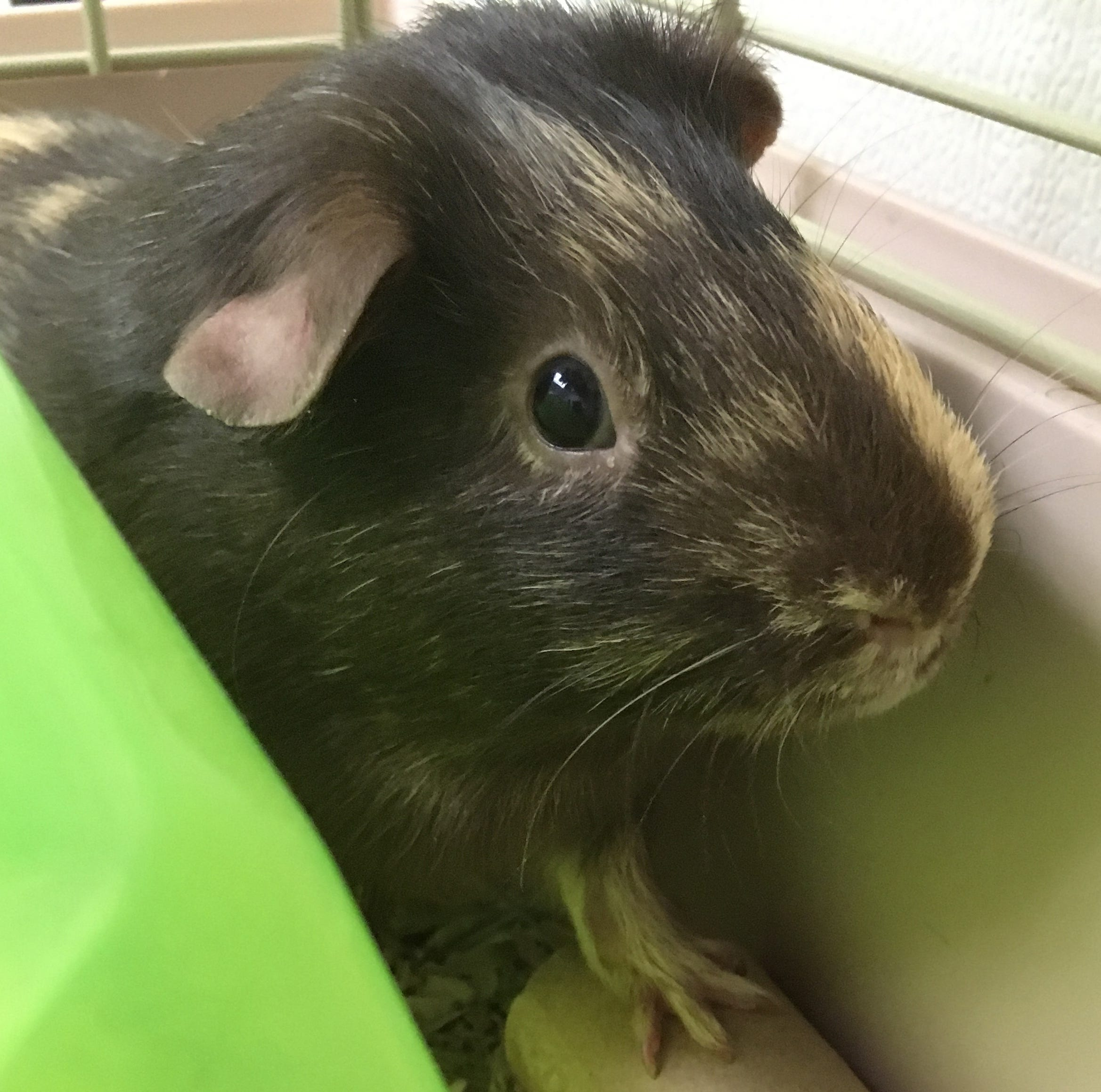 Oshkosh Northwestern Pet of the Week: Saturn the guinea pig likes playing and eating