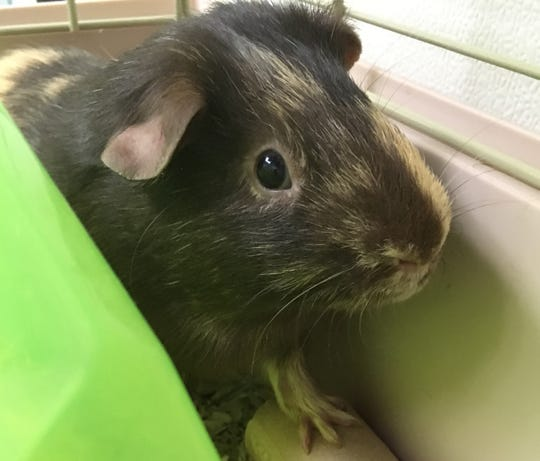 Saturn is looking to get adopted along with another guinea pig from the Oshkosh Area Humane Society.