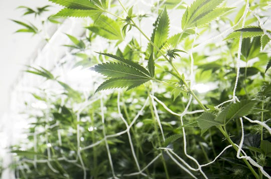Plants in a grow room at a marijuana farm supplying Arizona's medical-marijuana industry.