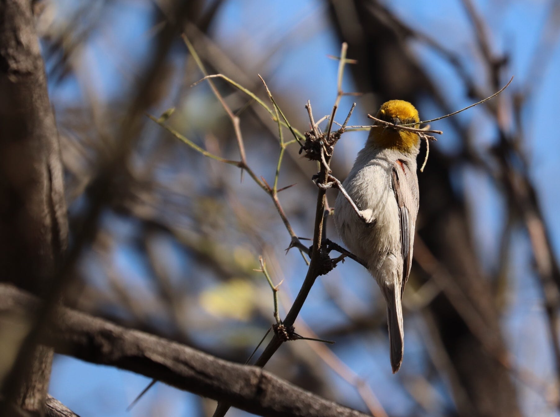 Spring is time to gather sticks and twigs to build a nest for this verdin at Desert botanical Garden.