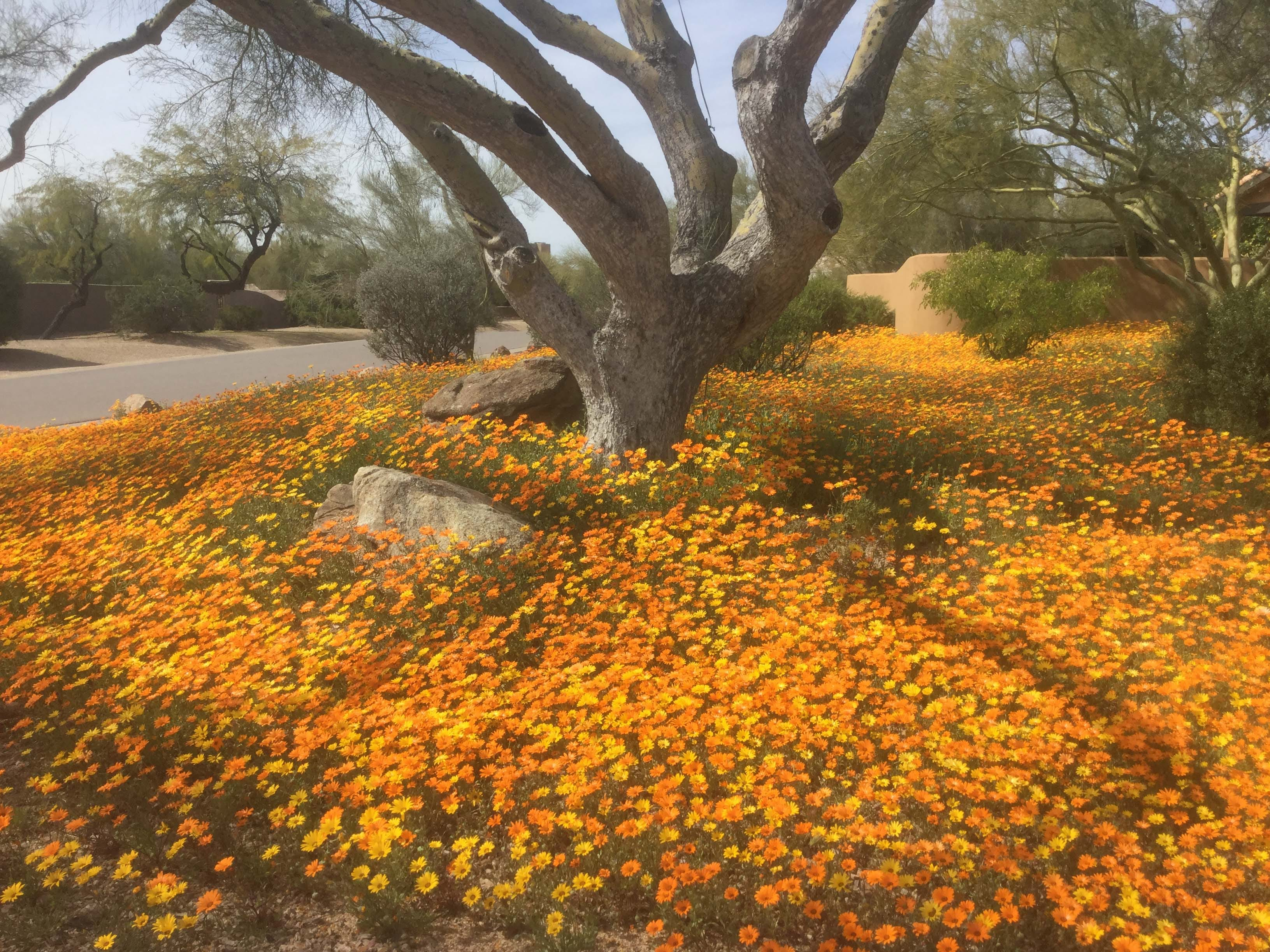 I hope you like my photo of our desert daisies. Twenty five  years in the making with lots of rain, cool weather, and 80 pounds of fertilizer.