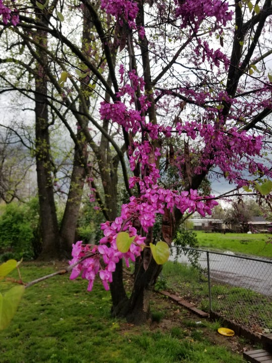 Redbud is a brush that grows wild in California and over the last decade or so has been planted along Interstate 5.